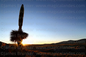 Puya raimondii in flower silhouetted against late afternoon sun, Comanche, Bolivia