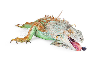 Iguana Lizard Eating Blueberry