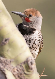 Woodpeckers photos