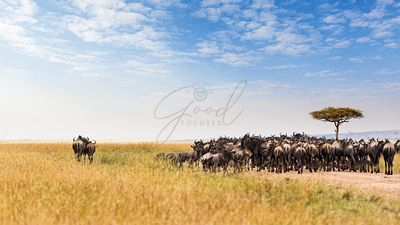 Two Wildebeest Standing Out From Crowd