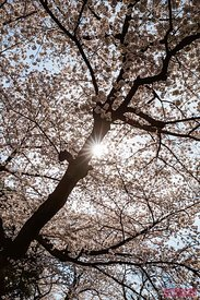 Sunlight through cherry tree blossoms, Tokyo, Japan