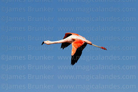 Chilean flamingo (Phoenicopterus chilensis) in flight