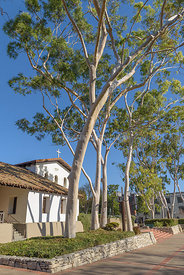 Eucalyptus trees at the Mission of San Luis Obispo de Tolosa is a Spanish mission founded in 1772, in San Luis Obispo, California, USA.