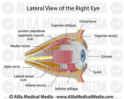 Anatomy of the eye orbit, labeled.