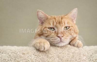 Emotive orange cat with head between paws looking at camera