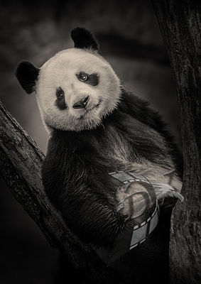 Giant Panda in the tree