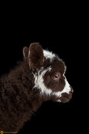 Lamb Portrait #12