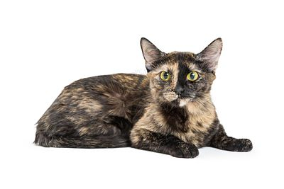 Pretty Tortoiseshell Cat Isolated on White