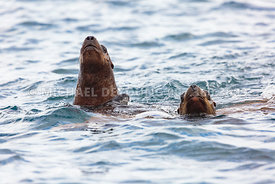 Alaska Wildlife - Stellar Sea Lion