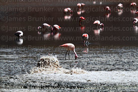 James's or Puna flamingos (Phoenicoparrus jamesi)