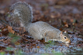 Grey (Eastern Gray) Squirrel Sciurus carolinensis in garden drinking  Norfolk winter