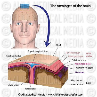 Meninges of the brain