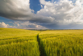 Path through the barley field Taddington