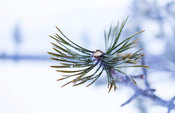 Elk´s winter diet, Scots Pine.