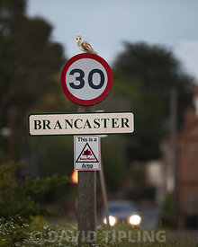 Barn Owl Tytp alba on 30 mph speed limit sign at Brancaster North Norfolk
