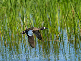 Blue-winged Teal Anas discors male Viera Wetlands Florida USA