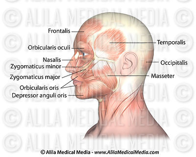 Facial muscles side view