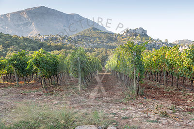 rows of cabernet grapes growing at vineyard in Mallorca
