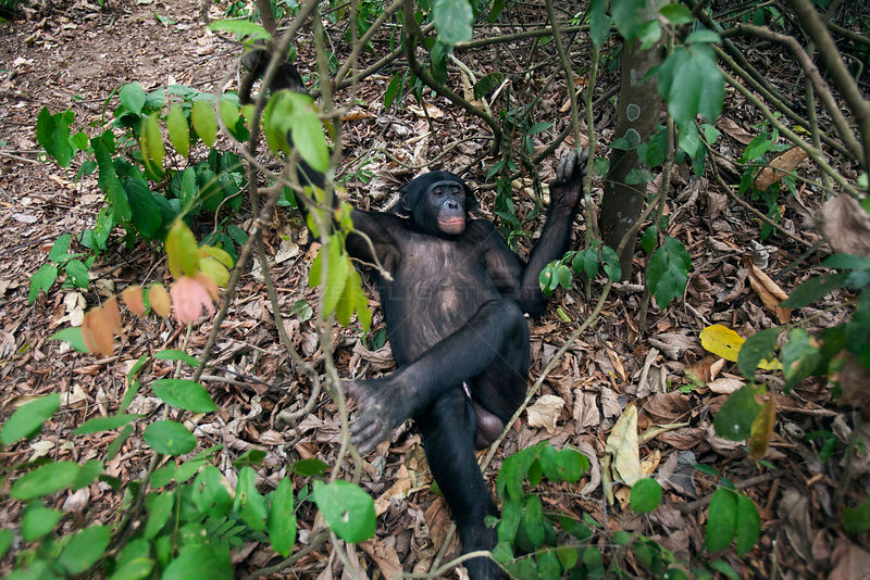 Bonobo (Pan paniscus) looking down on mature male 'Tembo' lying down, Lola Ya Bonobo Sanctuary, Democratic Republic of Congo. October.