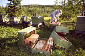 Apiary after bear attack