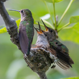 Hummingbirds photos