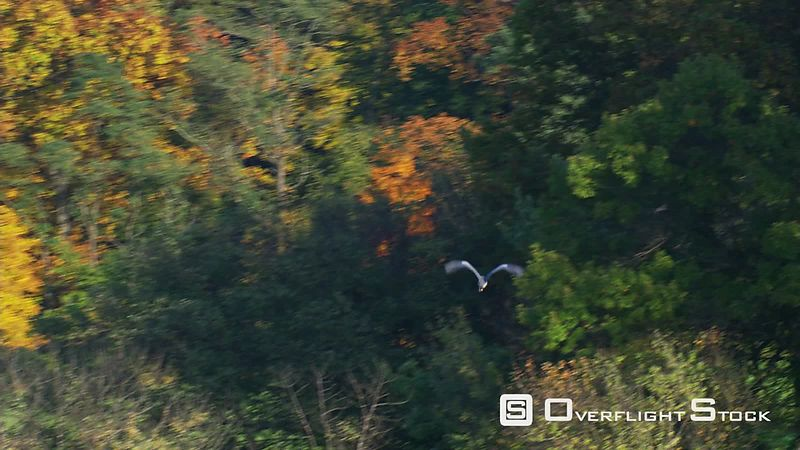 Looking down on heron flying over fall colors