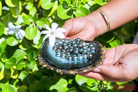 Black pearls of Tahiti in a oyster shell, French Polynesia