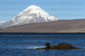 Giant coot (Fulica gigantea) on nest and young on Lake Chungara, Sajama volcano in background, Lauca National Park, Region XV, Chile