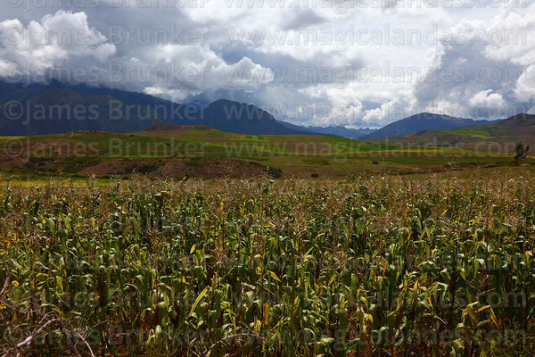 Maize plants growing near Maras in rainy season, Cusco Region, Peru