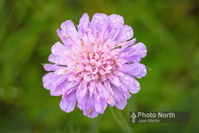 SCABIOUS 01A - Field Scabious