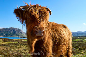 Royaume-Uni, Ecosse, Highland, Tongue, jeune vache de race Highlands