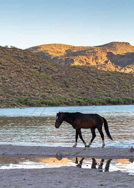 Wild Horse On Arizona River at Sunset