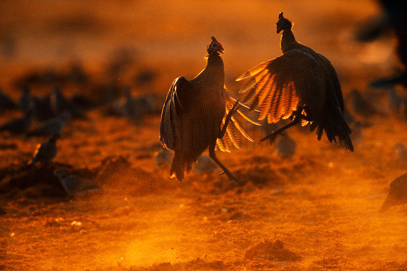 Helmeted Guineafowl Fighting