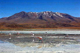 Flamingos feeding at Laguna Hedionda , Cerro Cañapa volcano in background , North Lipez region , Bolivia
