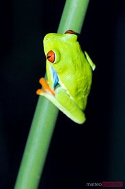 Close up of Red eyed tree frog at night, Arenal, Costa Rica