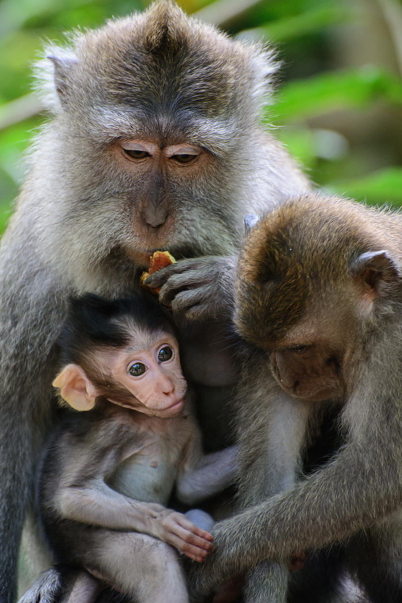 Family gathering of monkies, Ubud Monkey Forest, Indonesia
