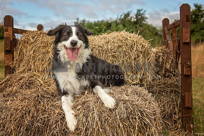 Border Collie photos