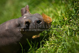 close up shot of skinny pig exploring garden