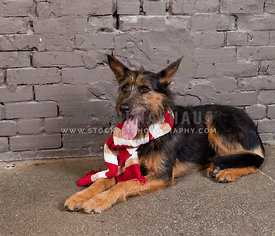 dog wearing Christmas scarf