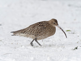 Eurasian Curlew Numenius arquata feeding in deep snow on grazing marsh Holkham Norfolk