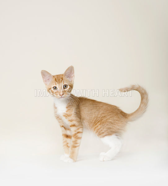 Orange cat on white background