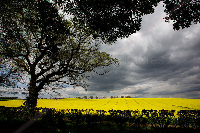 Oilseed Rape Growing in Fields with Dramatic Clouds Overhead