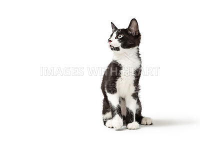 Black and White Kitten Sitting Looking Side