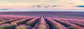 Panoramic of scenic lavender field, Provence, France