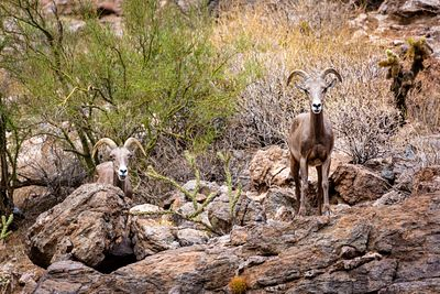 Two Bighorn Sheep in Arizona Looking at Camera