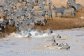 Zebra, Equus burchellii, crossing the Mara river, Masai Mara National Reserve, Kenya; Landscape