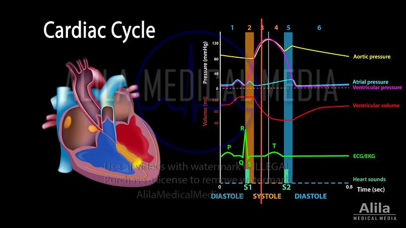 Cardiac cycle NARRATED animation.