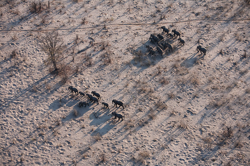 Aerial view of African elephant herd (Loxodonta africana) traveling through parched landscape during drought conditions, Northern Botswana.  Taken on location for BBC Planet Earth series, October 2005