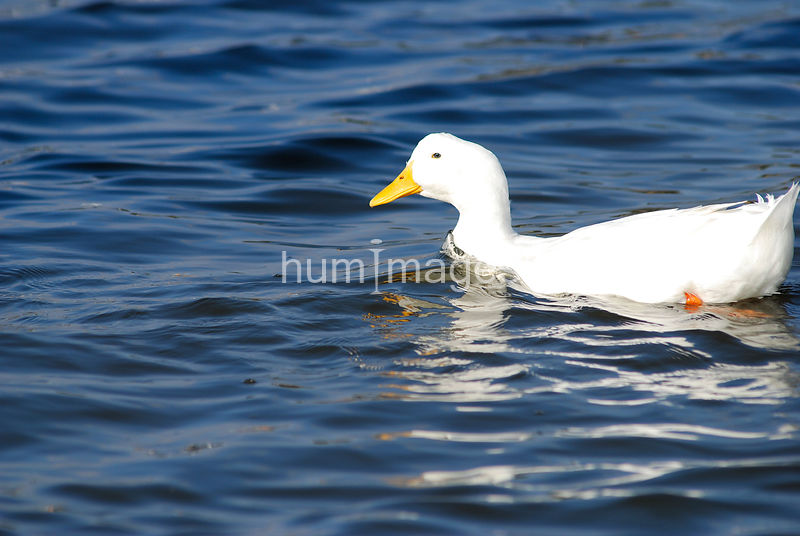 Bright day white duck in blue water facing left