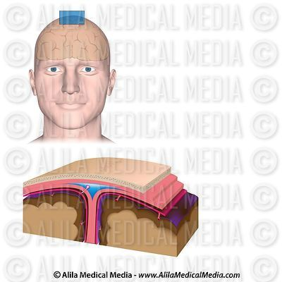 Meninges del cerebro, diagrama no etiquetado